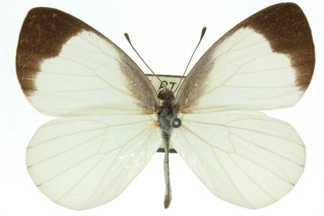 Image of <i>Elodina walkeri</i> Butler 1898