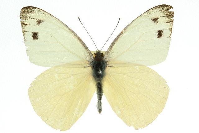 Image of <i>Appias paulina</i> (Cramer (1777))