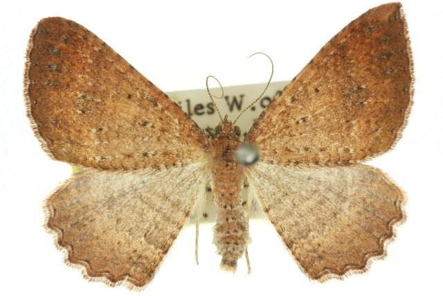 Image of <i>Acodia pauper</i> Rosenstock 1885