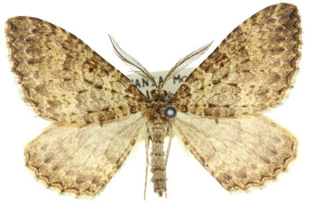Image of <i>Acodia orina</i>
