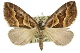 Image of <i>Melitulias graphicata</i> Walker 1861