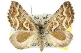 Image of <i>Melitulias leucographa</i> Turner 1922
