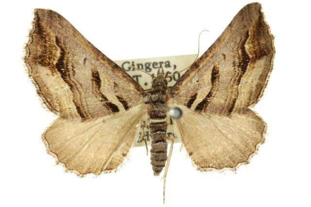 Image of <i>Melitulias oriadelpha</i> Turner 1926