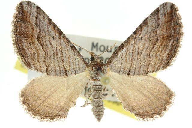 Image of <i>Melitulias glandulata</i> Guenée 1858