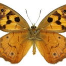 Image of <i>Heteronympha penelope</i> Waterhouse 1937