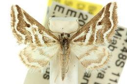 Image of <i>Anomocentris crystallota</i> Meyrick 1891