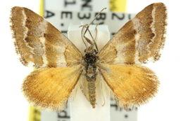 Image of <i>Anomocentris trissodesma</i> Lower 1897