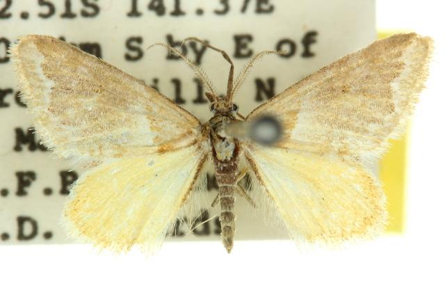 Image of <i>Anomocentris cosmadelpha</i>