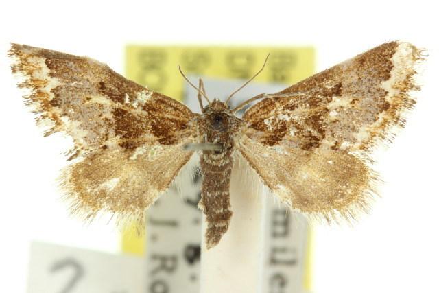 Image of <i>Anomocentris capnoxutha</i> Turner 1939