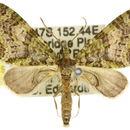 Image of <i>Tympanota perophora</i> Turner 1922