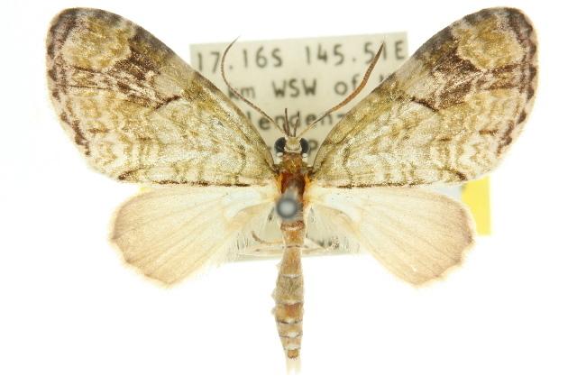 Image of <i>Episteira protima</i> Turner 1907