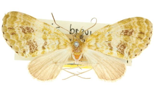 Image of <i>Sauris brevipalpis</i> Dugdale 1980