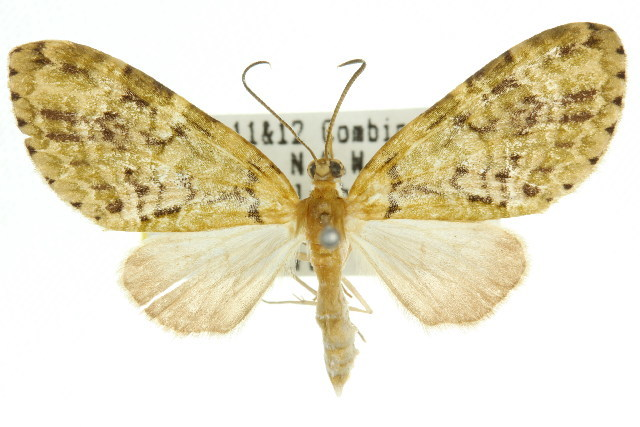 Image of <i>Sauris malaca</i> Meyrick 1891