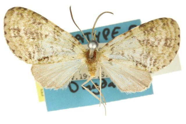 Image of <i>Sauris melanosterna</i> Dugdale 1980