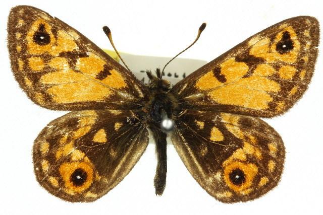 Image of <i>Oreixenica orichora</i>