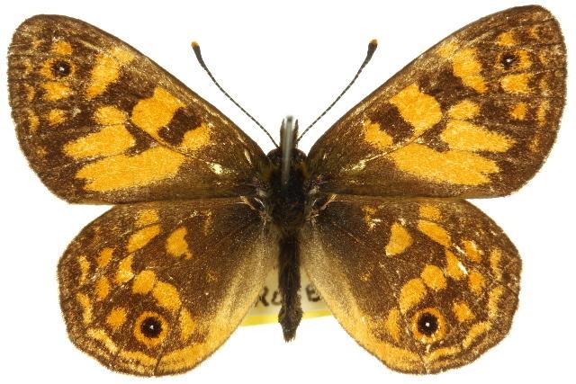 Image of <i>Oreixenica correae</i> Olliff