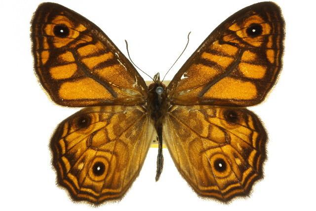 Image of <i>Geitoneura acantha</i> Donovan 1805