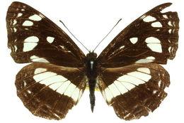 Image of <i>Phaedyma shepherdi</i> Moore 1858