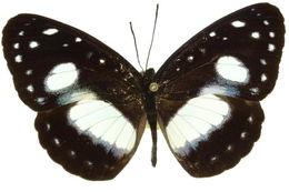 Image of <i>Pantoporia venilia</i> Linnaeus 1758
