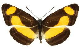 Image of <i>Pantoporia consimilis</i> Boisduval 1832