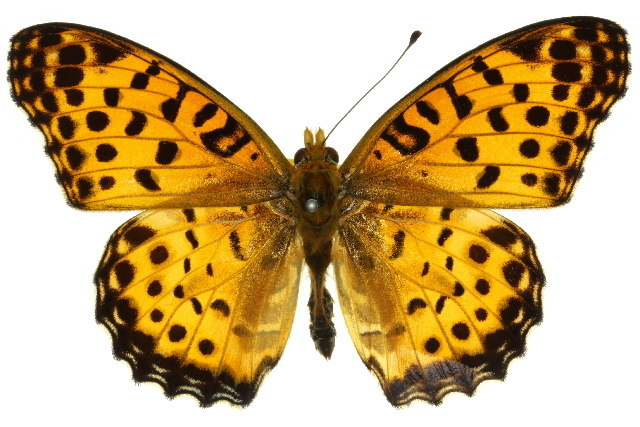 Image of Indian Fritillary