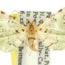 Image of <i>Aepylopha thalassia</i> Turner 1942