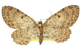 Image of <i>Collix multifilata</i> Warren 1896