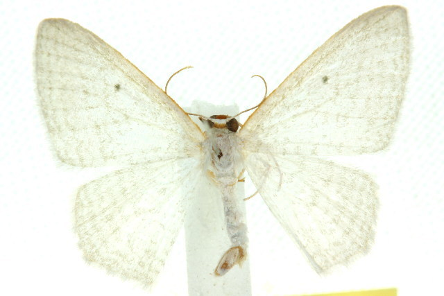 Image of <i>Poecilasthena fragilis</i> Turner 1942