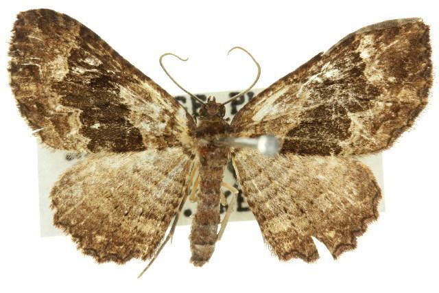 Image of <i>Scotocyma albinotata</i> Walker 1866
