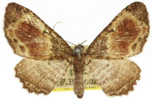Image of <i>Scotocyma idioschema</i> Turner 1922