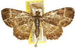 Image of <i>Scotocyma transfixa</i> Turner 1931