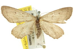 Image of <i>Eremodorea haplopsara</i> Turner 1939