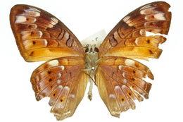 Image of <i>Vagrans egista</i> Cramer 1782