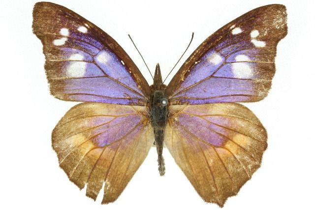 Image of <i>Libythea geoffroy</i> Godart 1820