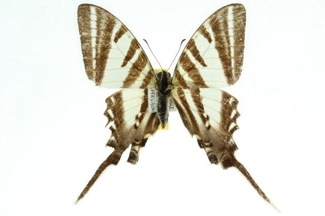Image of <i>Protographium leosthenes</i> (Doubleday 1846)