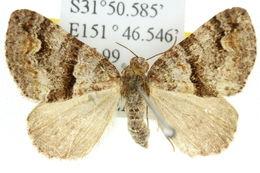 Image of <i>Heterochasta conglobata</i> Walker 1862
