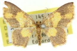 Image of <i>Cleptocosmia mutabilis</i> Warren 1896
