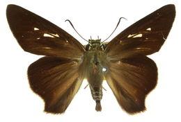 Image of <i>Badamia exclamationis</i> Fabricius 1775