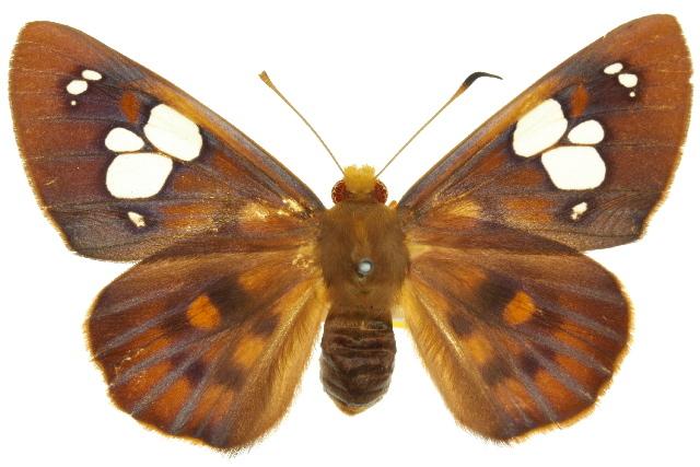 Image of <i>Chaetocneme denitza</i> Hewitson 1867