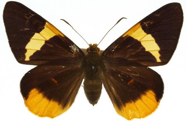 Image of <i>Chaetocneme critomedia</i> Guerin-Meneville 1831