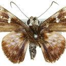 Image of <i>Rachelia extrusus</i> (C. & R. Felder 1867)