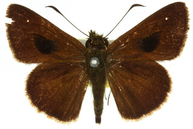 Image of <i>Signeta tymbophora</i> Meyrick & Lower 1902