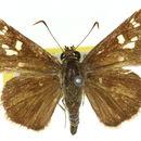 Image of <i>Neohesperilla croceus</i> Miskin 1889