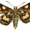 Image of <i>Oreisplanus perornata</i> (Kirby)
