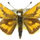 Image of <i>Taractrocera anisomorpha</i> Lower 1911