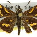 Image of <i>Ocybadistes knightorum</i> Lambkin & Donaldson 1994