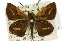 Image of <i>Suniana lascivia</i> Rosenstock 1885