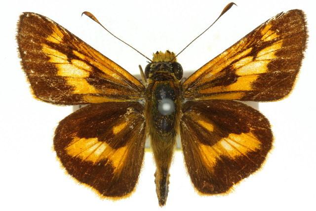 Image of <i>Oriens augustula</i> Herrich-Schäffer 1869