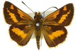 Image of <i>Arrhenes marnas</i> Felder 1860