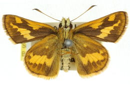 Image of <i>Arrhenes dschilus</i> Plötz 1885